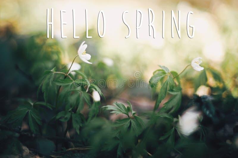 你好春天文本,在银莲花属花的标志在晴朗的春天森林 新鲜的第一束白花森林春天 r 免版税库存图片