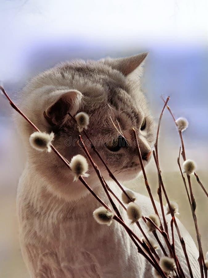 你好春天逗人喜爱的猫嗅春天春天来动物的植物杨柳,并且花反弹蓝色春天天空 免版税图库摄影
