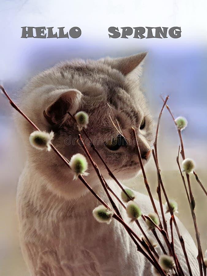你好春天逗人喜爱的猫嗅春天春天来动物的植物杨柳,并且花反弹蓝色春天天空 库存图片