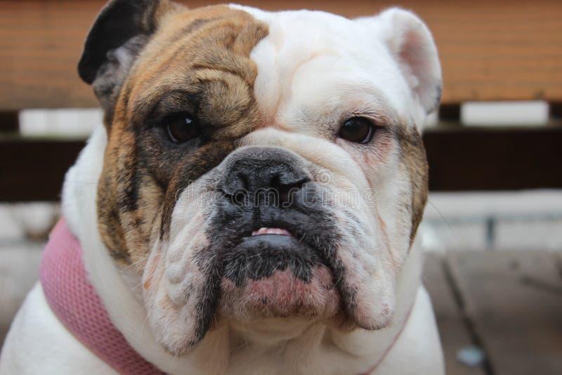 佩带一个桃红色衣领的白色和棕色母英国牛头犬 库存照片