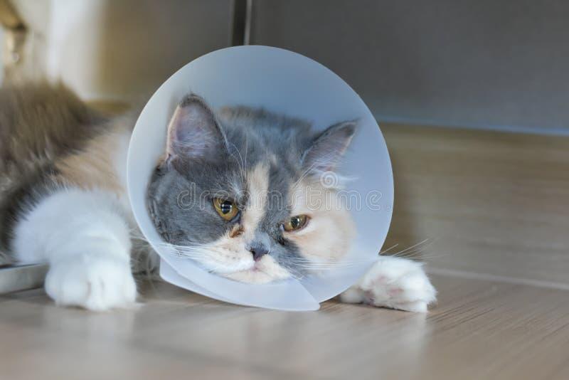 佩带一个防护衣领的波斯猫 免版税库存图片