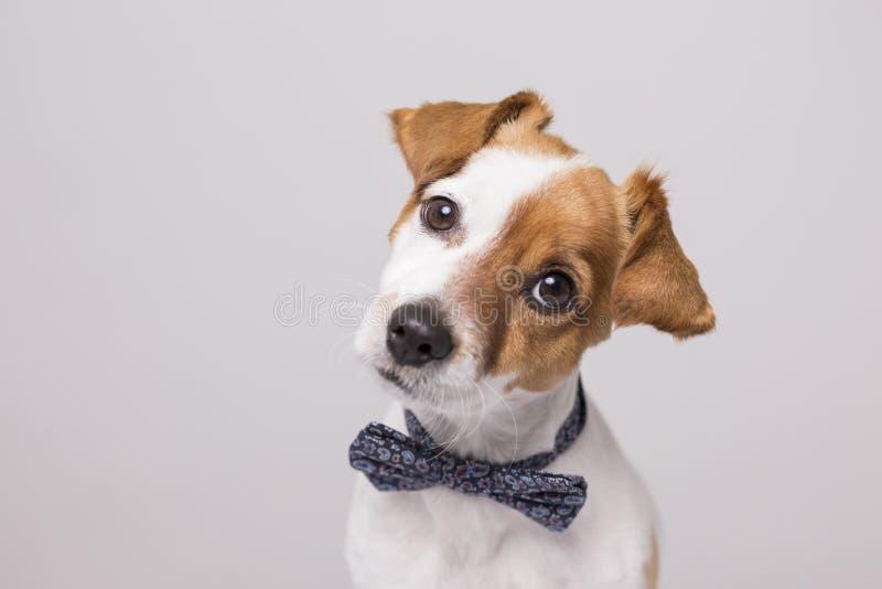 亚洲小色狗在线播放_佩带一现代bowtie的逗人喜爱的幼小小白色狗 坐木地板
