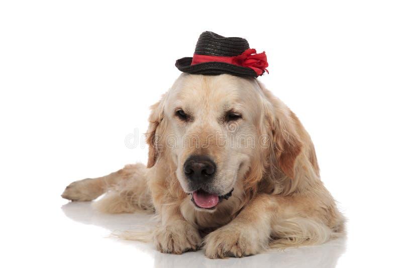 佩带一黑帽会议说谎的可爱的金毛猎犬 免版税库存图片