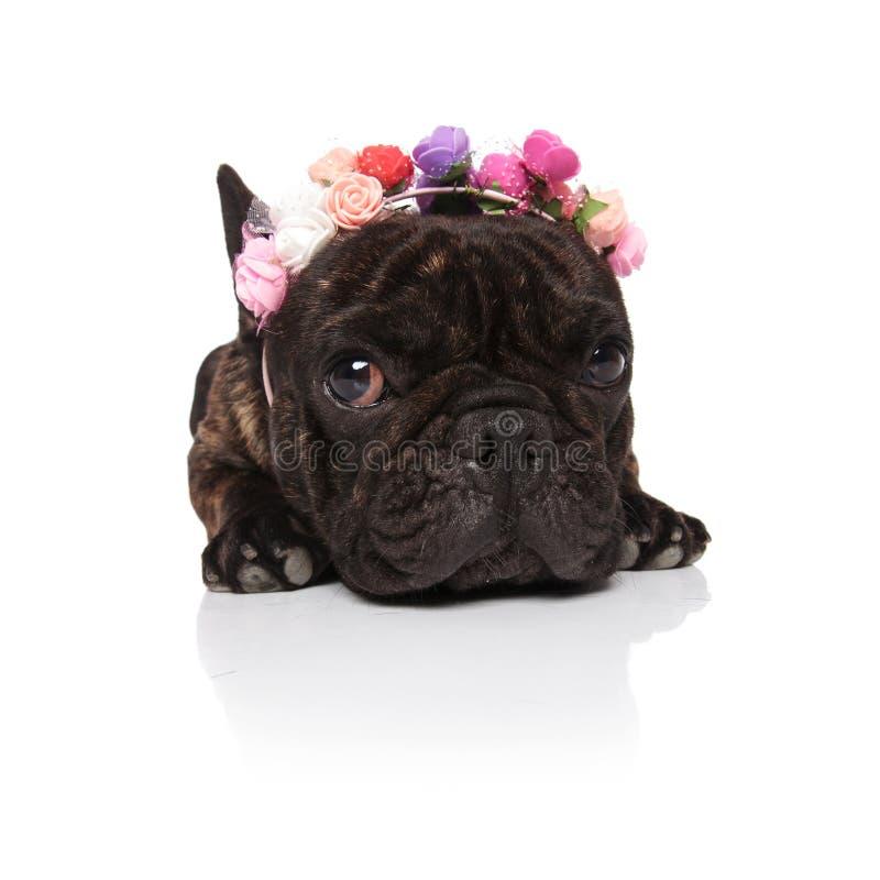 佩带五颜六色的花的可爱的法国牛头犬加冠说谎 免版税库存图片