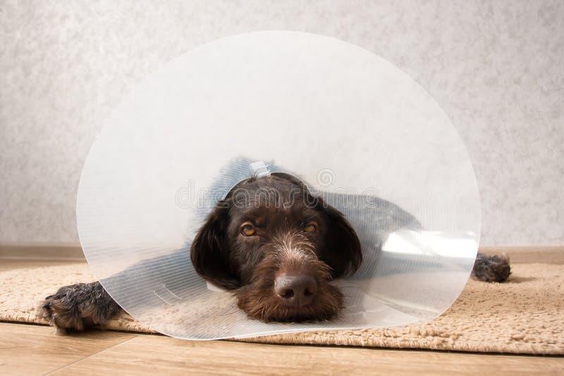 佩带伊丽莎白女王的衣领的狗 免版税库存图片