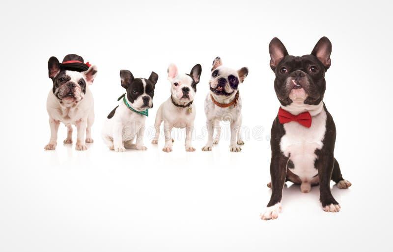 佩带在狗前面的供以座位的法国牛头犬红色bowtie 图库摄影