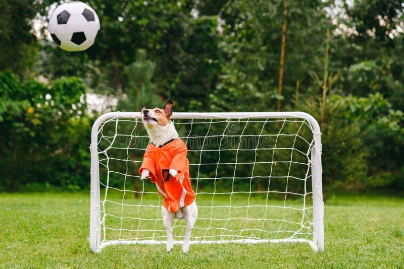 佩带橙色成套工具荷兰国家队捉住的橄榄球足球的滑稽的狗 免版税库存图片