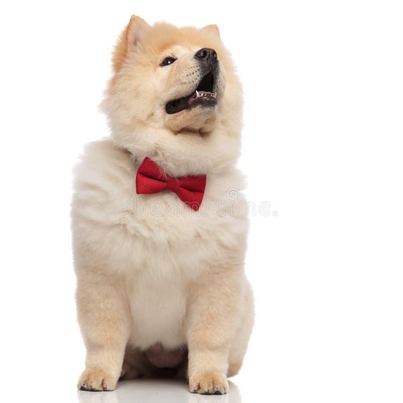 佩带红色bowtie的震惊中国咸菜查寻支持 免版税库存图片