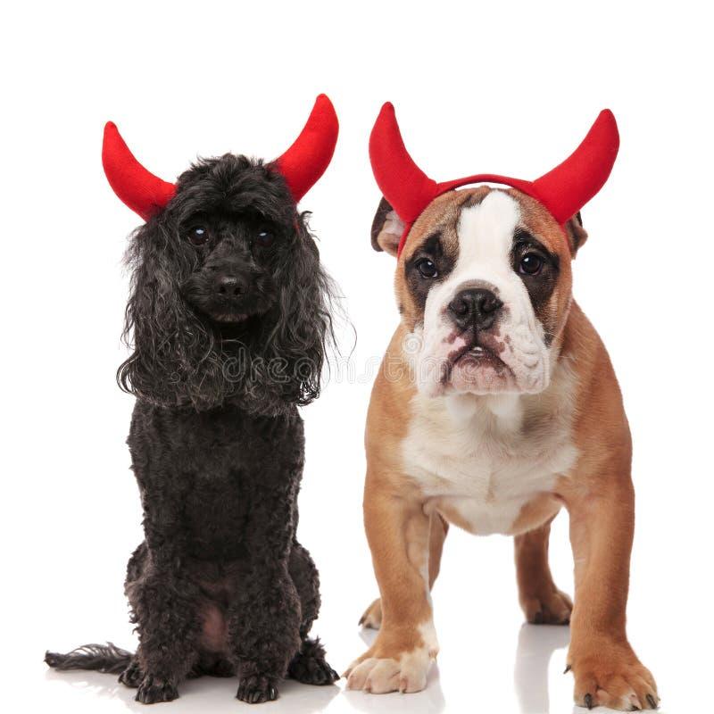 佩带红魔垫铁的逗人喜爱的狗夫妇 库存图片