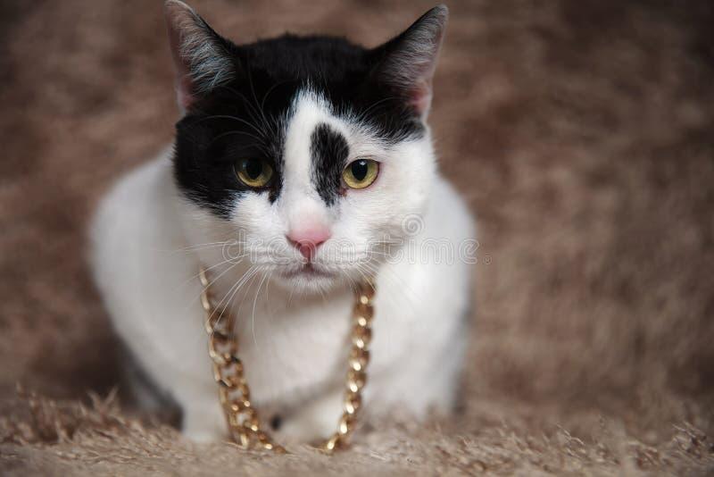 佩带金黄衣领的可爱的黑白metis猫 免版税库存照片