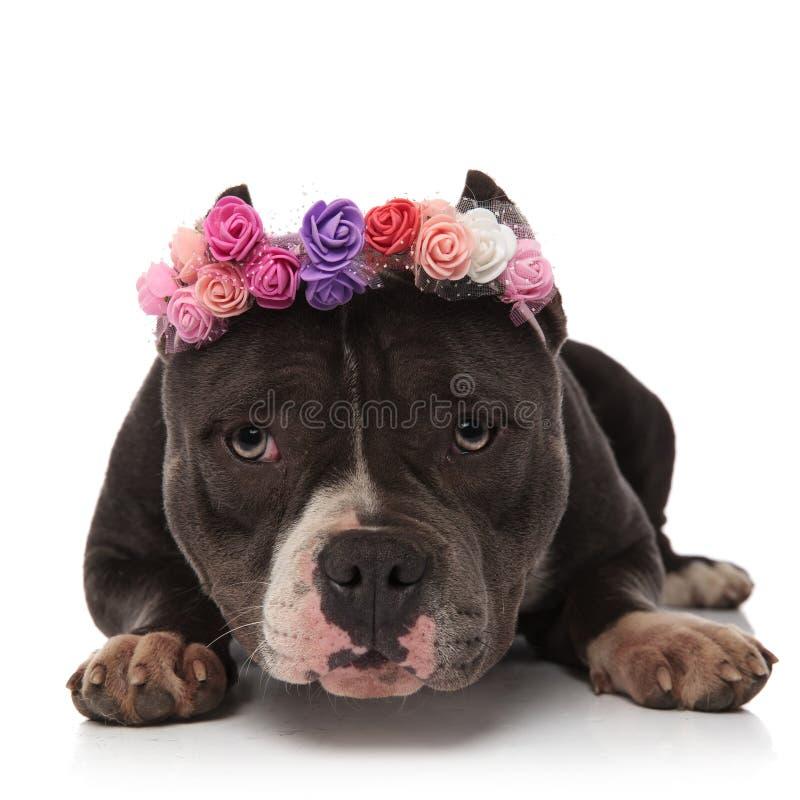 佩带鲜花的可爱的美国恶霸加冠休息 免版税图库摄影