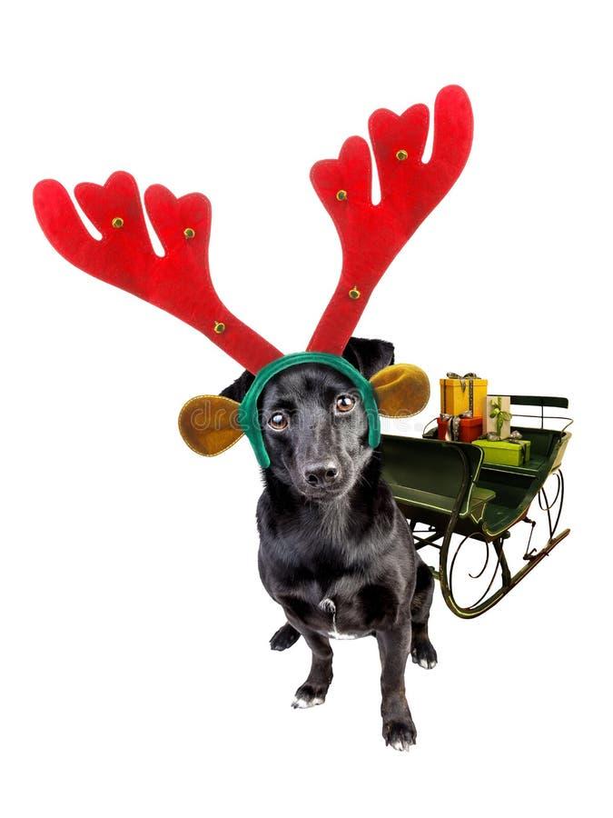 佩带xmas或圣诞节驯鹿头饰带的逗人喜爱的黑小犬座拉扯与被隔绝的礼物的雪橇 免版税库存照片