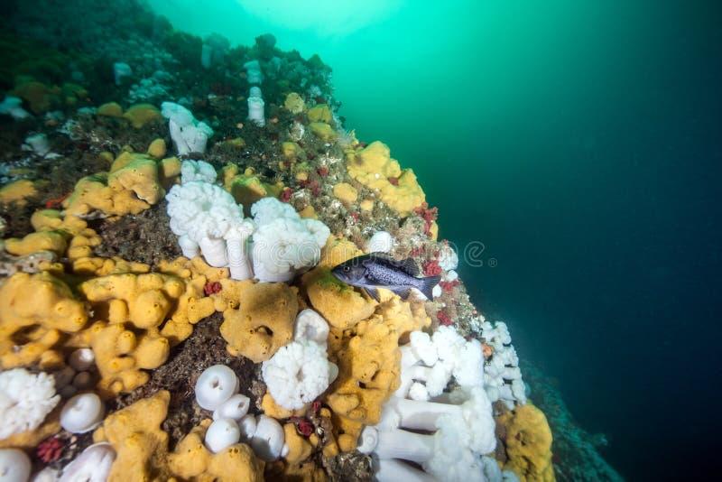 佩戴水肺的潜水在不列颠哥伦比亚省 库存照片