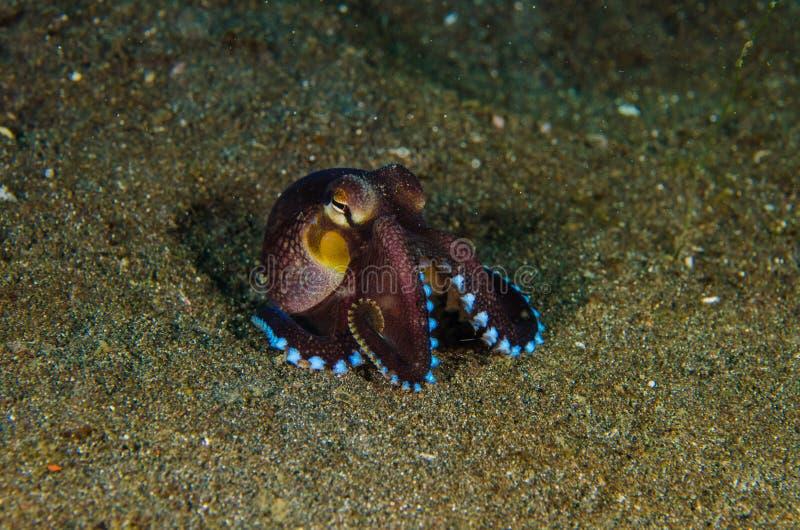 佩戴水肺的潜水章鱼lembeh海峡水下的印度尼西亚 库存图片