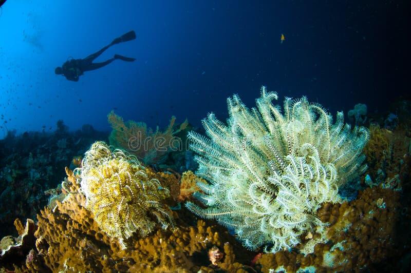 佩戴水肺的潜水crinoid bunaken苏拉威西岛印度尼西亚lamprometra sp 水下 库存照片