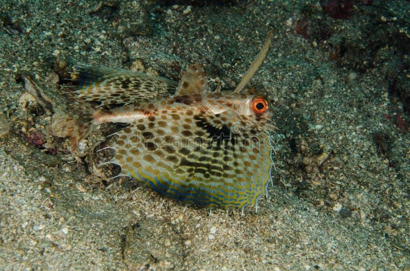 佩戴水肺的潜水lembeh印度尼西亚少年赫尔穆特鲂鱼 图库摄影