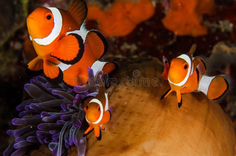 佩戴水肺的潜水lembeh印度尼西亚少年赫尔穆特鲂鱼 免版税库存图片