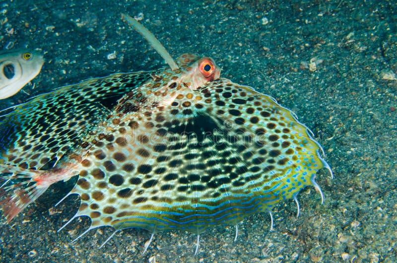 佩戴水肺的潜水lembeh印度尼西亚赫尔穆特鲂鱼 库存照片