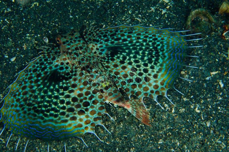 佩戴水肺的潜水lembeh印度尼西亚赫尔穆特鲂鱼 库存图片