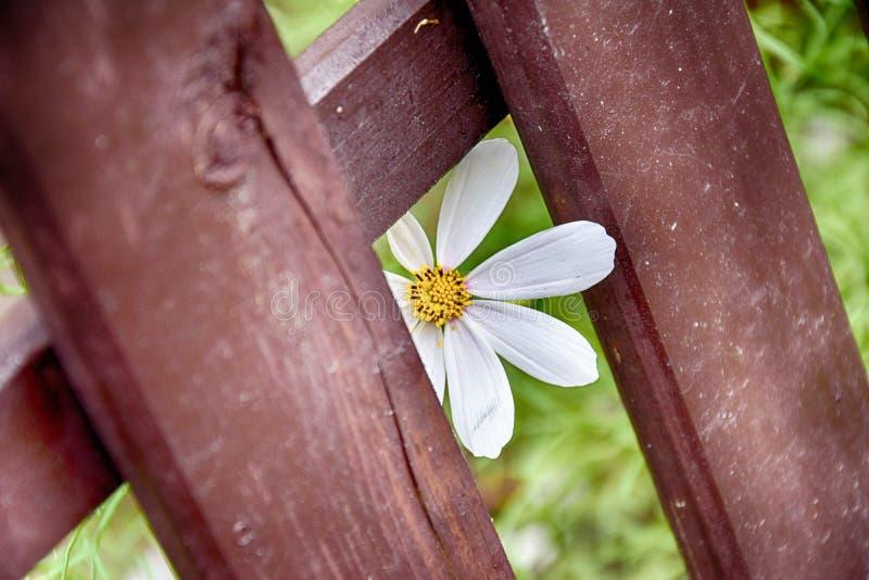 使光滑通过在的棕色篱芭的白色,有趣的花 免版税库存图片