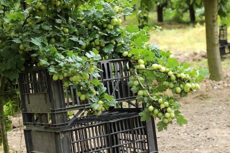 使变成熟的鹅莓 免版税图库摄影