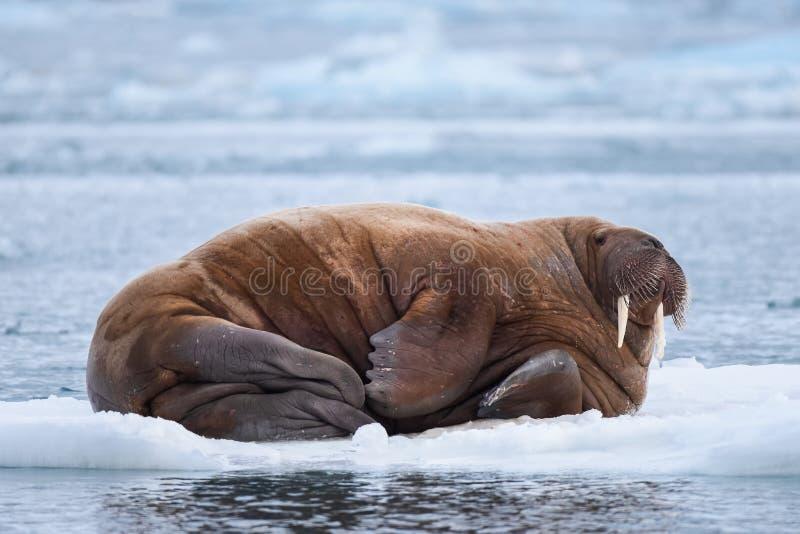 使在卑尔根群岛朗伊尔城斯瓦尔巴特群岛北极冬天阳光天冰川的自然海象环境美化  免版税库存照片