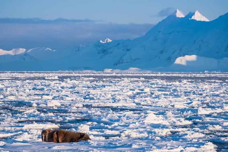 使在卑尔根群岛朗伊尔城斯瓦尔巴特群岛北极冬天阳光天冰川的自然海象环境美化  库存图片