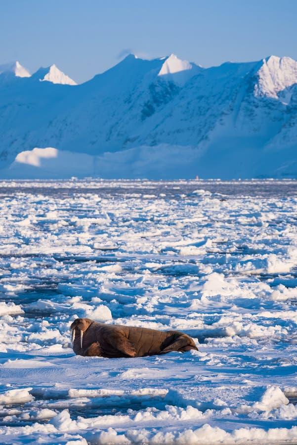 使在卑尔根群岛朗伊尔城斯瓦尔巴特群岛北极冬天阳光天冰川的自然海象环境美化  图库摄影