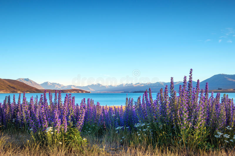 使开花的花和特卡波湖山环境美化, NZ看法  免版税图库摄影