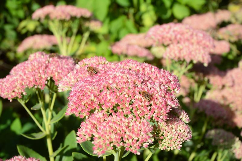 使您的庭院蜂友好在秋天 增长的Sedum spectabile突出的Sedum 在开花的Sedum景天属有蜂蜜蜂的 免版税库存图片