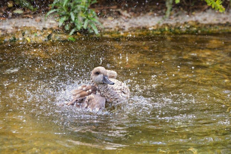 使有大理石花纹的小野鸭鸭子沐浴 免版税图库摄影