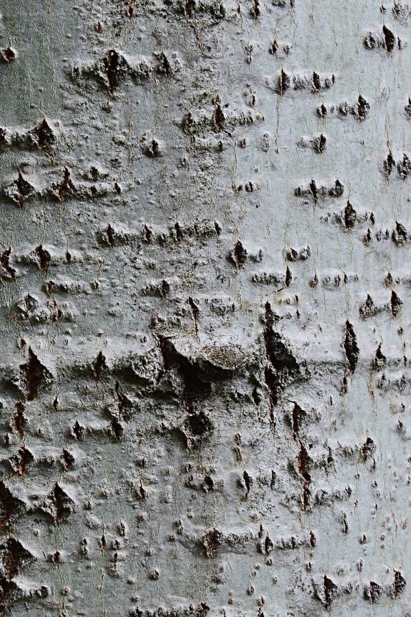 使树加拿大白杨树或卡罗来纳州白杨树杨属光滑Canadensis吠声木纹理  库存照片
