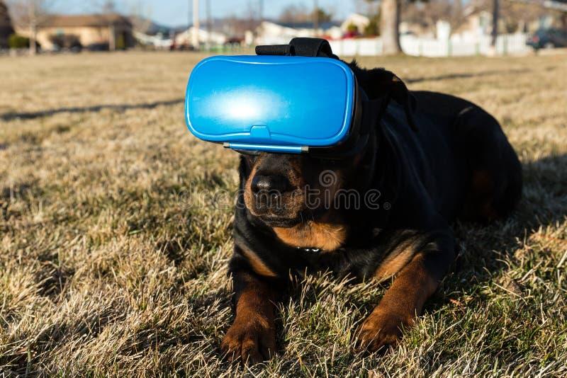 使用一个虚拟现实耳机的Rottweiler狗在公园 免版税库存照片