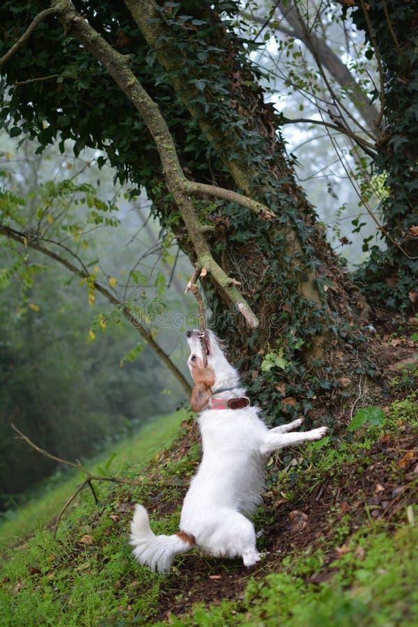 使用与一个大树枝的小的白色狗在森林里 库存图片