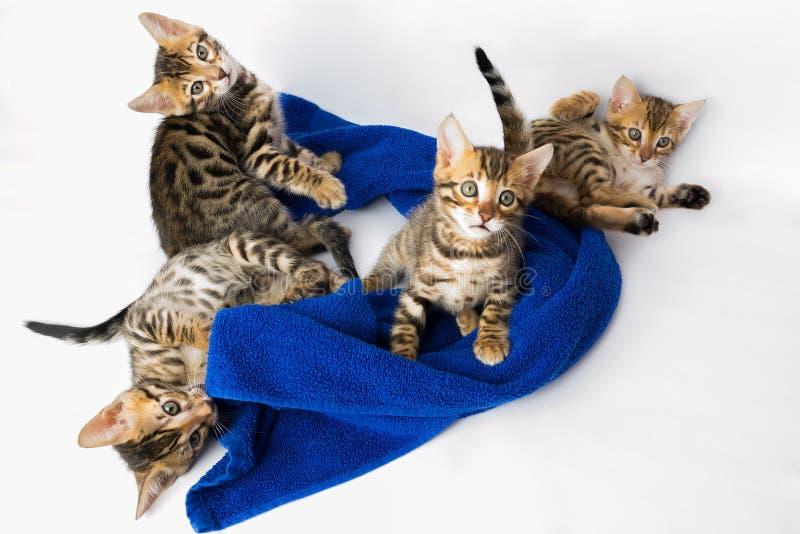 使用与一块蓝色布料的小猫 库存图片