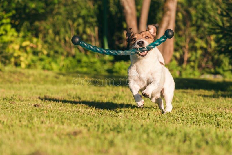 使用与取指令棍子玩具的猎狗在后院草坪 免版税库存图片
