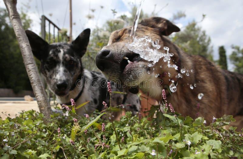 使用与喷水的水管的狗户外 库存照片