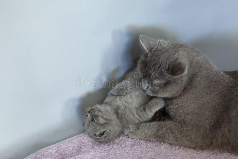 使用与小猫的猫妈妈 库存图片