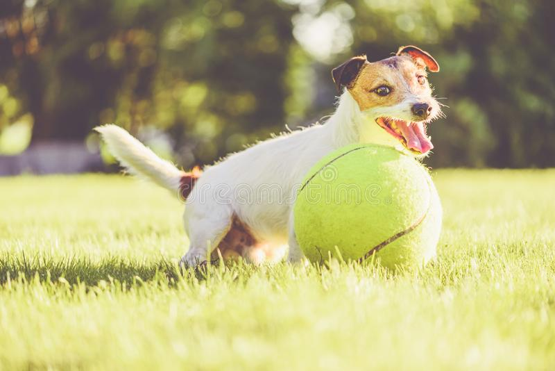 使用与巨型网球的愉快的可爱的狗在后院草坪晴朗的夏日 免版税图库摄影