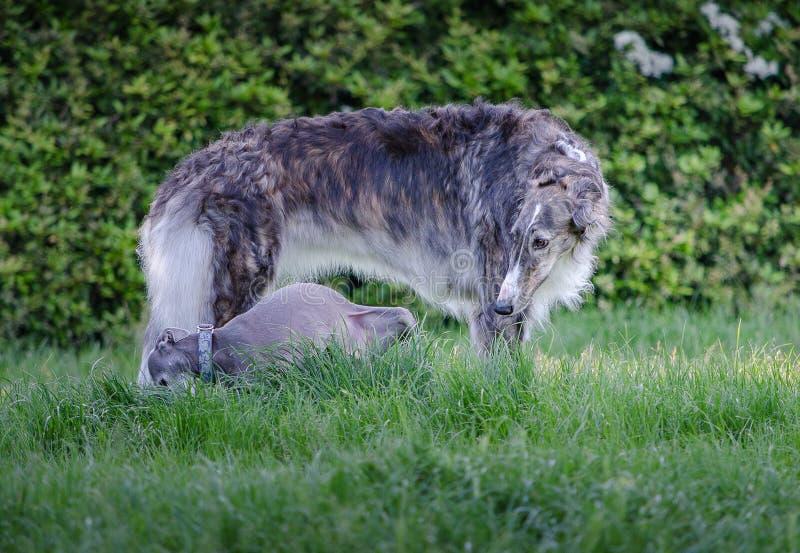 使用与意大利灵狮的灰色俄国猎狼犬 图库摄影