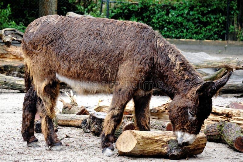 与rasta外套的poitou驴.