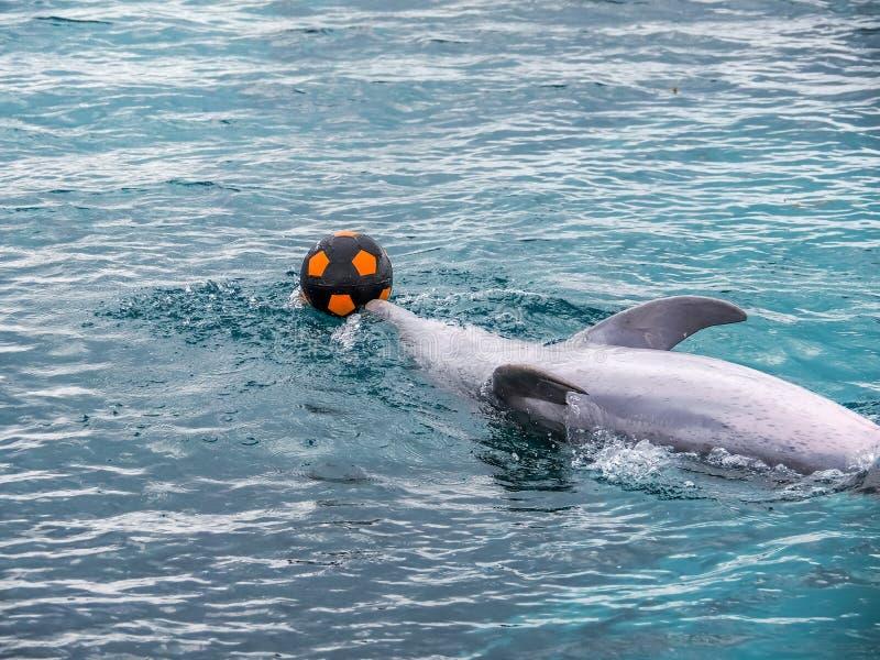 使用与橄榄球的海豚 免版税图库摄影