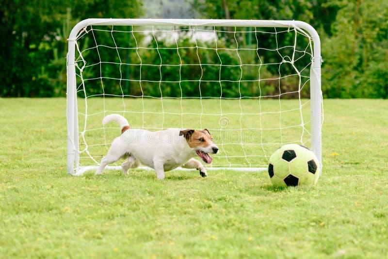 使用与橄榄球足球的狗在微型目标旁边 图库摄影