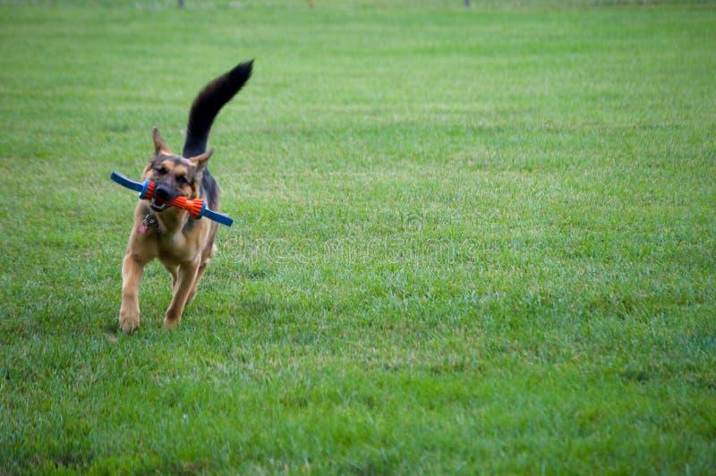 使用与玩具的德国牧羊犬 库存图片