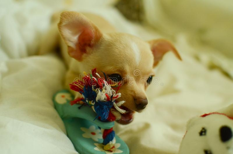 使用与玩具的滑稽的奇瓦瓦狗 库存图片