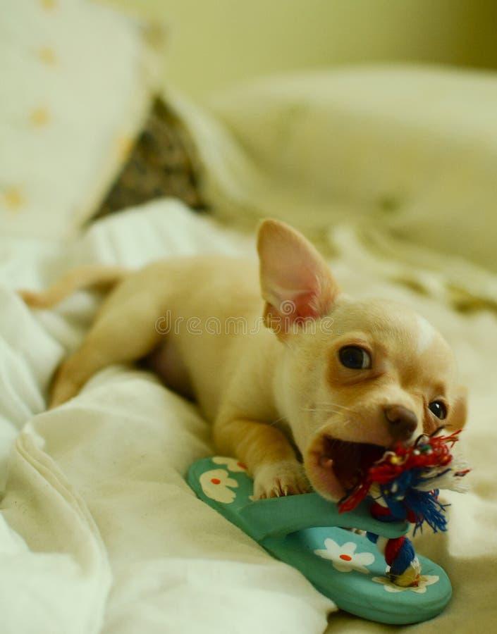 使用与玩具的滑稽的奇瓦瓦狗 免版税库存图片