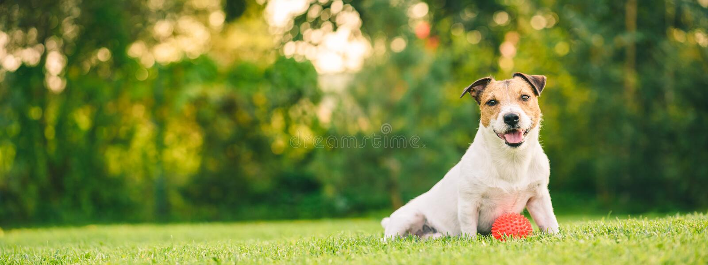 使用与球的愉快的狗坐在后院草坪全景庄稼 库存照片