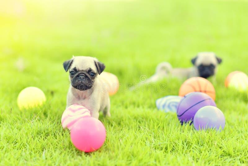 使用与球的逗人喜爱的小狗哈巴狗 库存图片