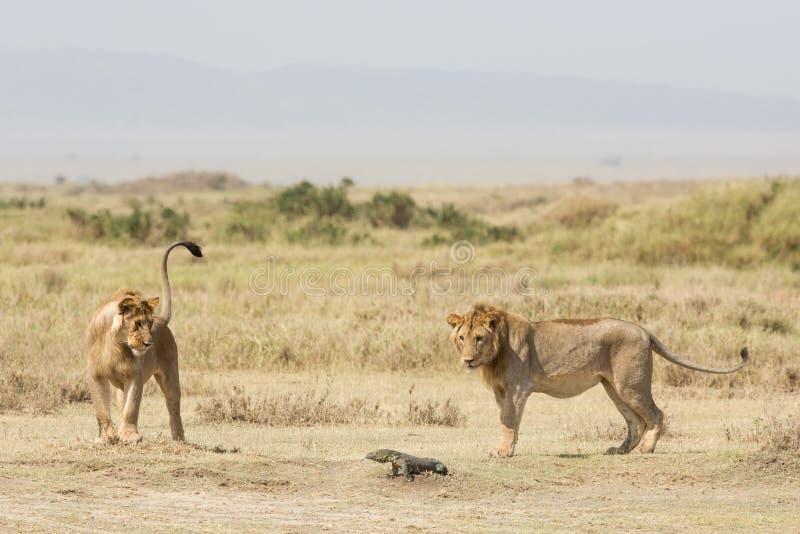 使用与监控蜥蜴,塞伦盖蒂国家公园,坦桑尼亚的两头次级成年男性非洲狮子 免版税库存照片