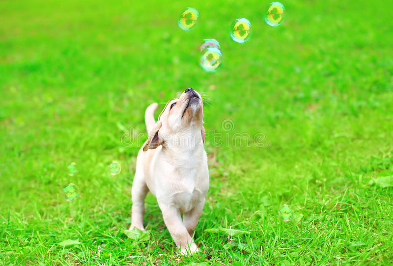 使用与肥皂泡的美丽的狗小狗拉布拉多猎犬 库存照片